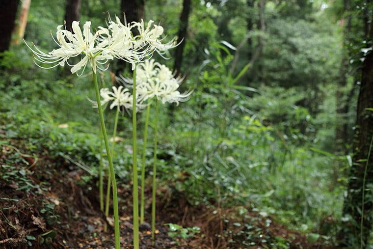 三毳山の白い彼岸花