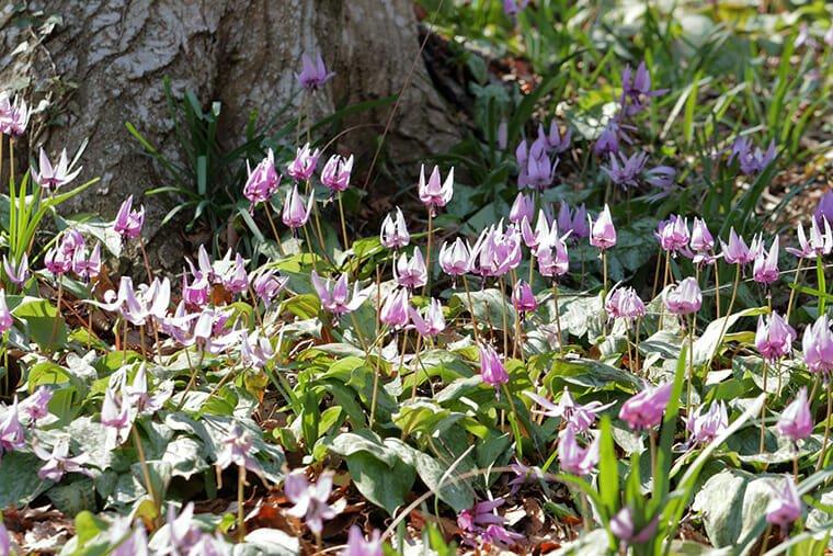 みかも山のカタクリの花