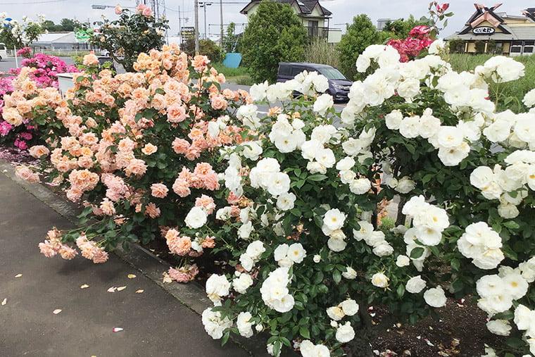 道の駅思川のバラ