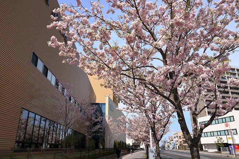 白鷗大学 本キャンパス周辺の思川桜並木