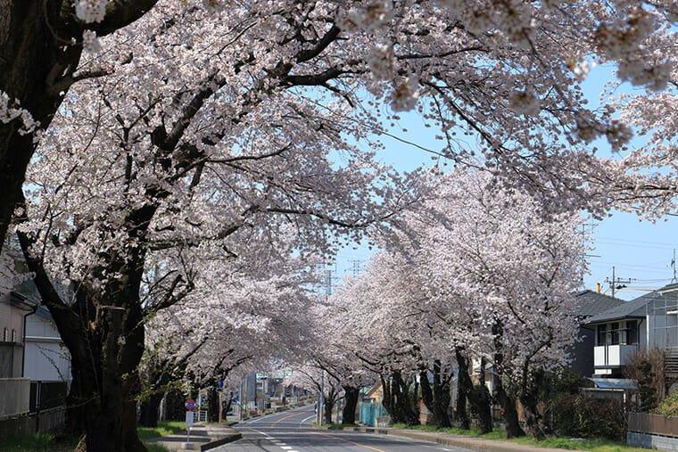 中久喜の桜並木