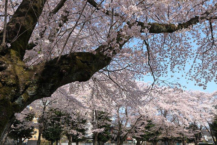 小山駅東公園の桜