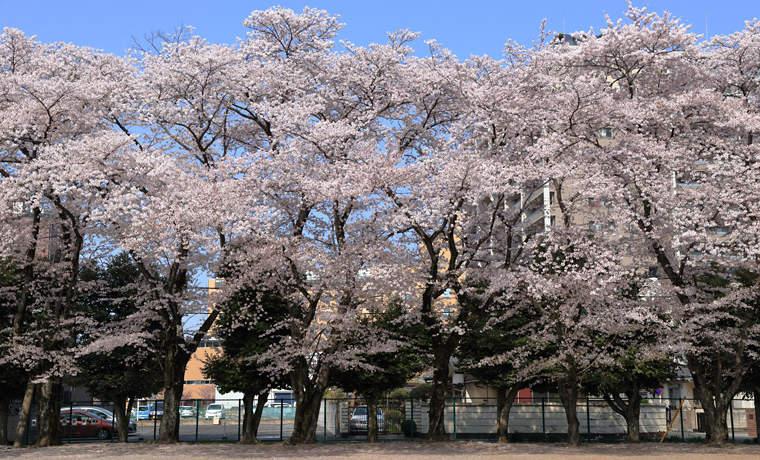 小山駅東公園の桜並木