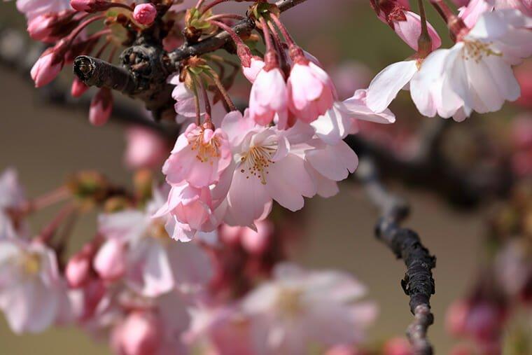 思川桜のアップ