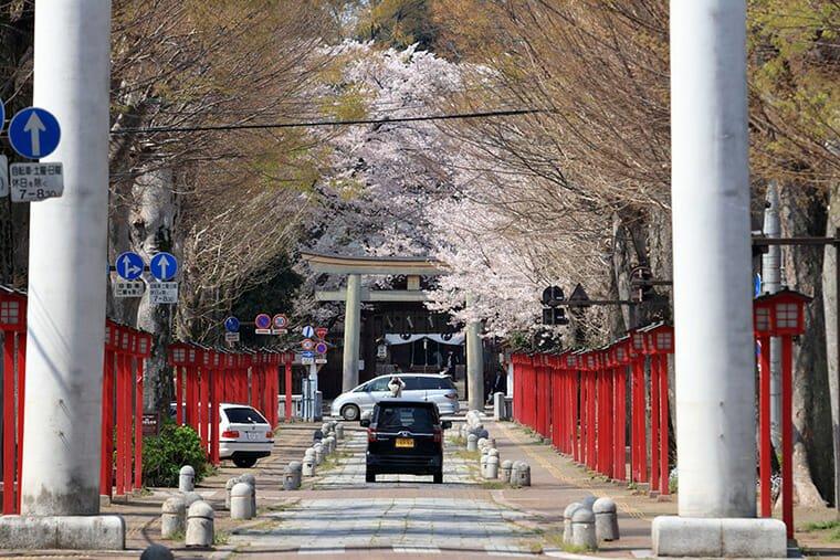 須賀神社の鳥居越しの桜