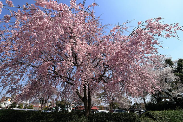 妙建寺のしだれ桜