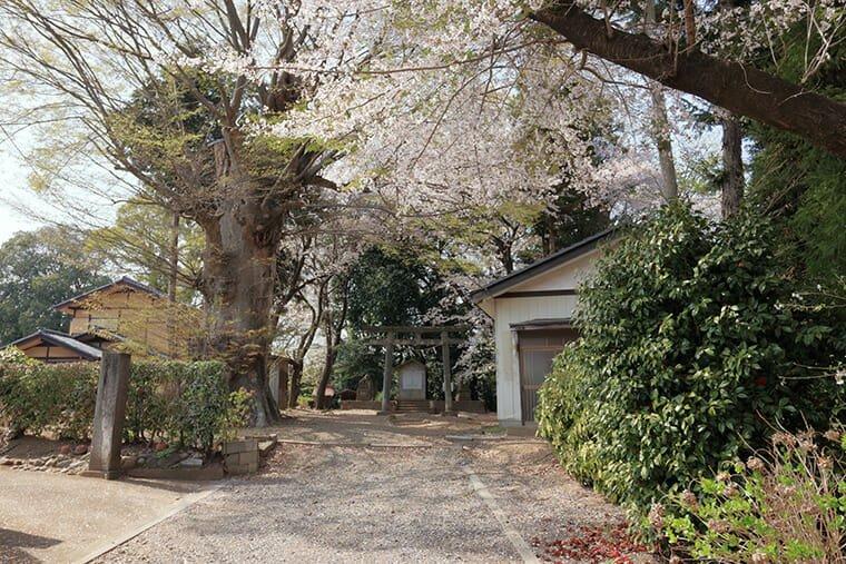 愛宕神社(小山市宮本町)の桜