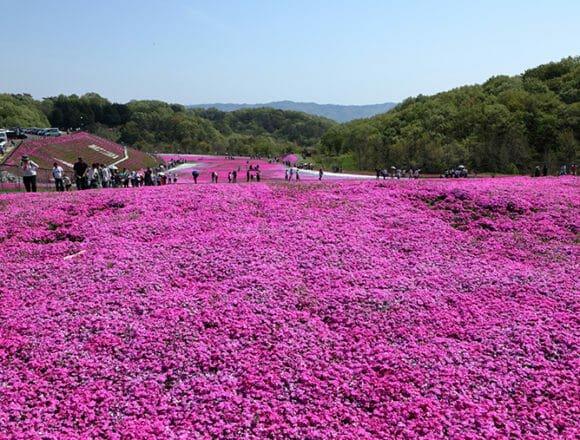 芝ざくら公園の芝桜