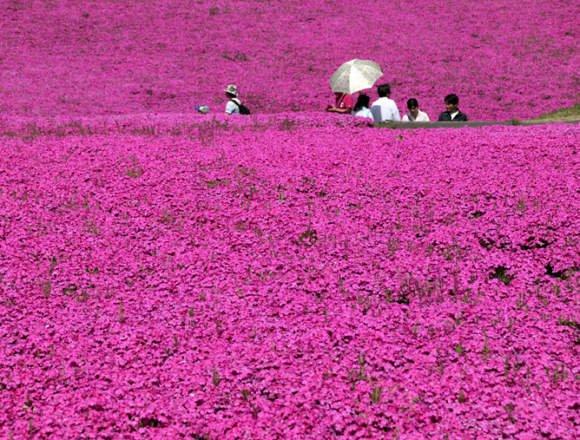市貝町 芝ざくら公園の芝桜畑