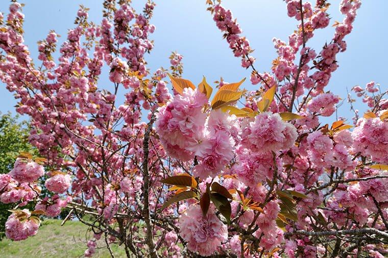 芳那の水晶湖周辺の八重桜