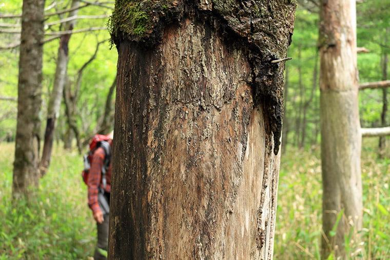 鹿害と受けた樹木
