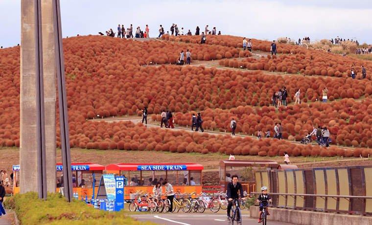 みはらしの丘の赤いコキア