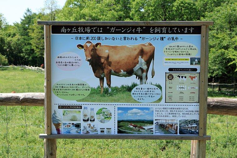 ガーンジィ牛の説明