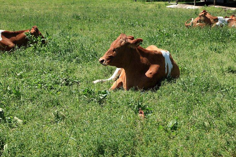 南ヶ丘牧場のガーンジィ牛