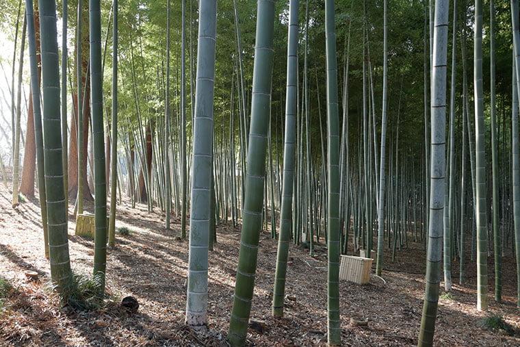 偕楽園の竹林