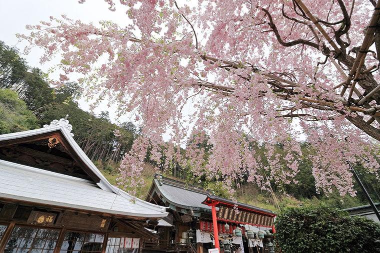 大平山神社のしだれ桜