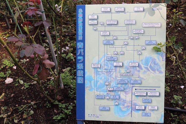 青バラの系統図
