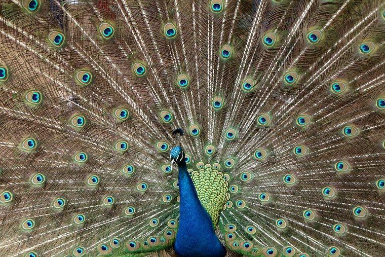 羽を広げた孔雀