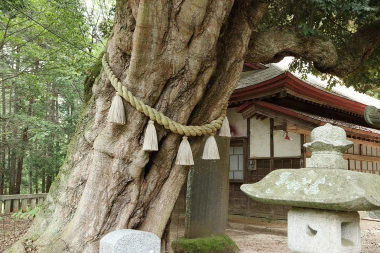 雨引千勝神社の御神木