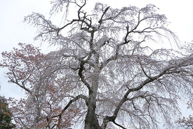 櫻川磯部稲村神社の糸桜