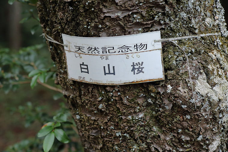 天然記念物の白山桜