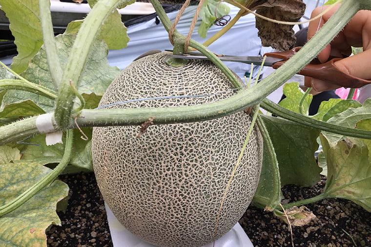 メロンを収穫するシーン