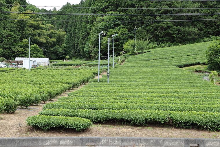 奥久慈茶畑