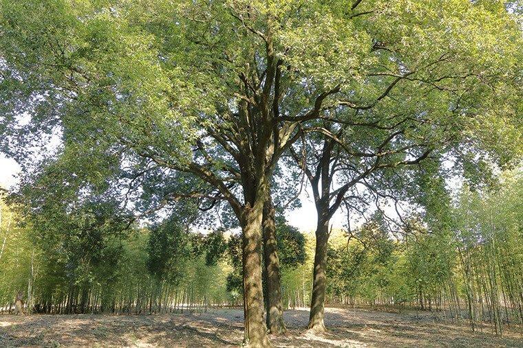 三本樫の木