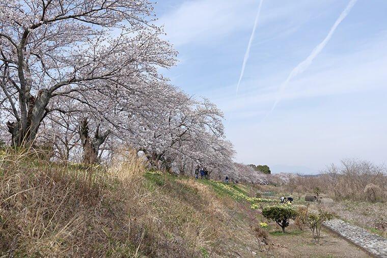 金崎の桜の桜並木