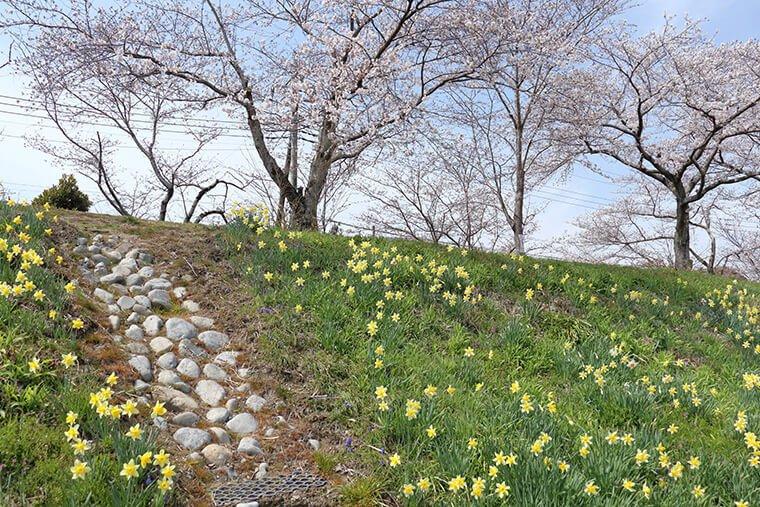 金崎の桜と水仙