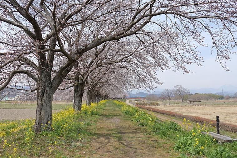 かっぱ広場の桜並木