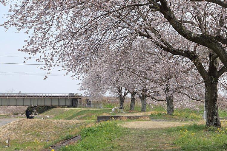 かっぱ広場の桜と東武鉄道