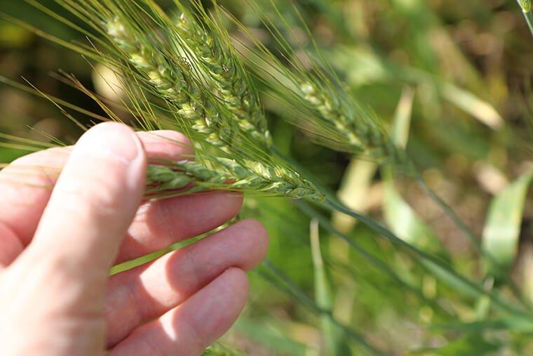 スパイラルガーデンの小麦